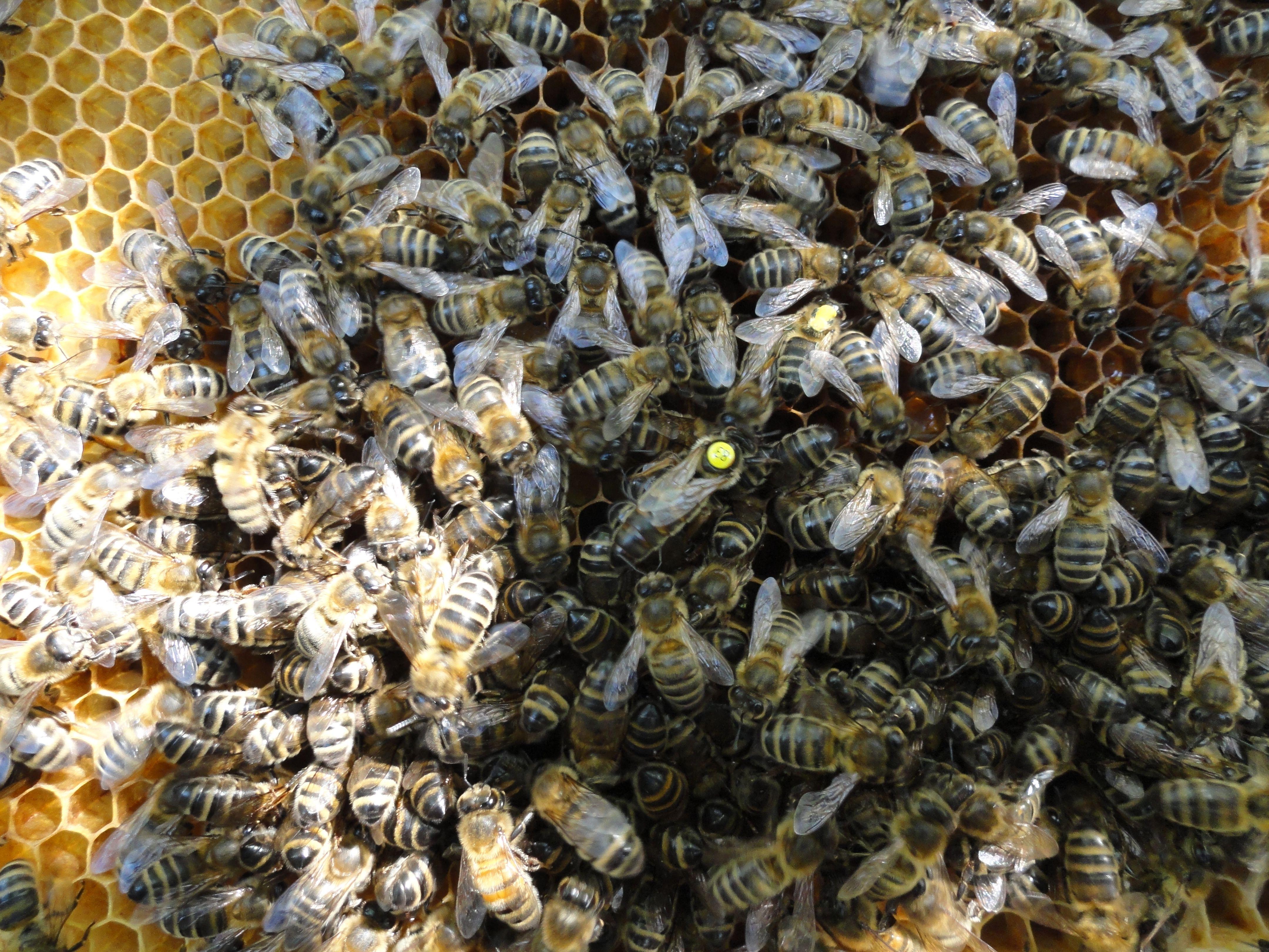 matka pszczela wśród pszczół.jpg