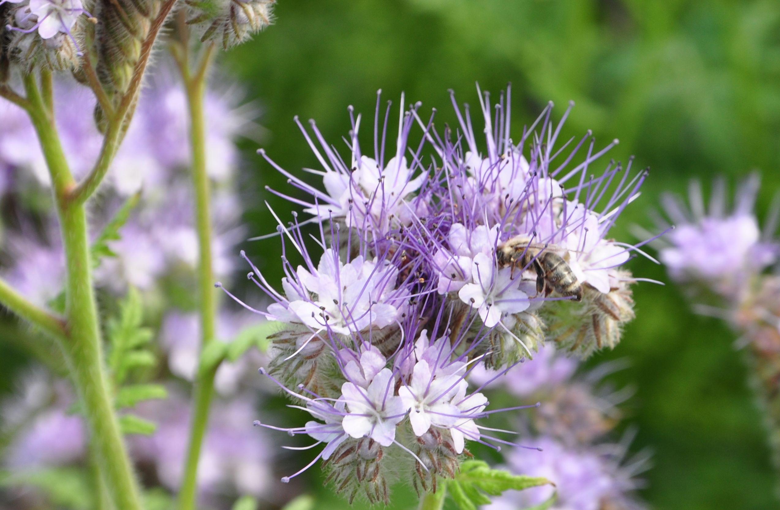 pszczoła na facelii.jpg