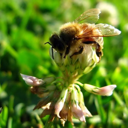 pszczoła zbiera nektar.jpg