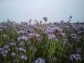 kwitnąca faceliia.jpg