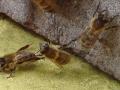 pszczele akrobacje.jpg