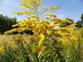 pszczoły zbierają nektar z nawłoci.jpg